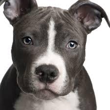 lovely american pitbull terrier photo