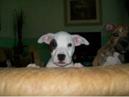 white pitbull terrier puppies. Perfect Terrier American Pit Bull TerrierFor Sale For Sale For White Pitbull Terrier Puppies