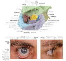 Eyelid Anatomy Easy Notes On Eyelids Learn In Just 4 Minutes