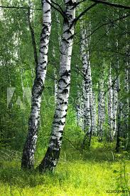 photo art print white birch trees with beautiful birch bark in a birch grove europosters