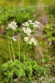 del of white wildflowers blooming on the tundra sand point popof island southwestern alaska usa summer