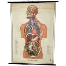 Vintage Anatomical Human Internal Organs Structure Chart 1951 Germany