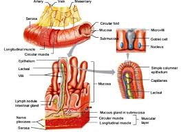 digestive system accessscience from