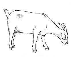 Goat drawing photo 22