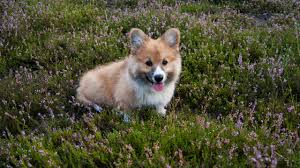 guest post why breeding corgis is harder than you think
