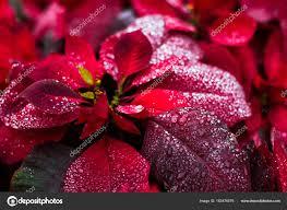 Natürliche Natur Hintergrund Weihnachtsstern Christmas