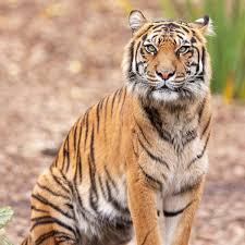 Tiger in Indien: Zahl hat sich in den vergangenen 15 Jahren verdoppelt -  DER SPIEGEL