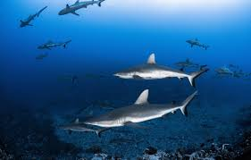 swimming sharks part i fitwild in order to change my belief system on sharks pretty much set since kindergarden thank you steven spielberg and because i love s and i am passionate