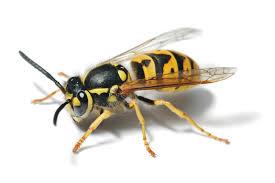 Resultado de imagem para diferenças entre vespa e abelha