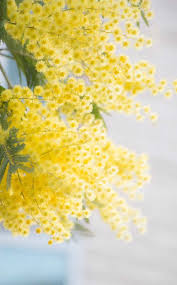 mimosa tree planting pruning and