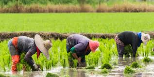 chinese rice field. Plain Rice Workers Plant Rice In A Field China With Chinese Rice Field