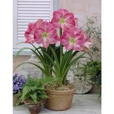 Amarilis Rosa simple | Plantas en maceta, Plantas bulbosas ...