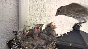 Backyard Bird Watching House Finch Nest 5 Weeks Complete Backyard Bird Watch