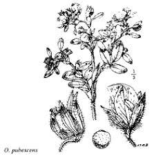 Fam. Zygophyllaceae - florae.it