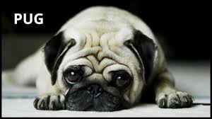 really cute pug puppies. Exellent Pug Cute Pug  Pets Dog Breeds Dogs Profile For Really Puppies