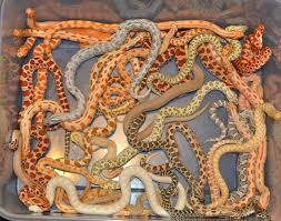 Designer Morphs Western Hognose Snakes Extremehogs Western Hognose Morphs Justin Mitcham