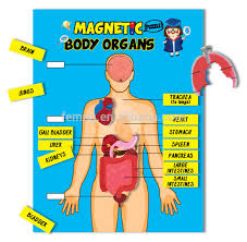 E1009 2015 New Learning English Conversation Magnetic Body Organs Chart Buy Magnetic Toys For Kids Educational Toys For Kids Creative Toys For Kids