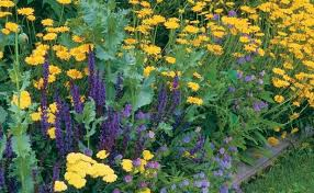 Small Picture Perennial Daisies Fine Gardening