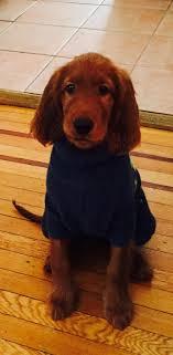 1000 ideas about Setter Puppies on Pinterest