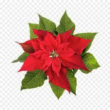 Weihnachtsstern Weihnachten Pflanzen Blume Stock Fotografie