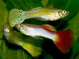 Platy Compatibility Chart Livebearer Fish Guppies Mollies Platy Swordtails Four