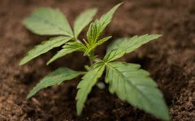 House And Garden 8 Week Feed Chart What Is A Feed Chart And How Can It Improve Your Cannabis