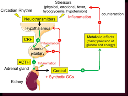 Hpa Axis The Hypothalamic Pituitary Adrenal Hpa Axis