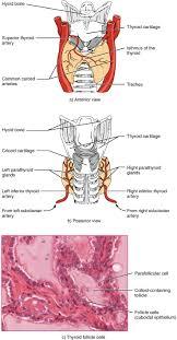 Thyroid Anatomy 17 4 The Thyroid Gland Anatomy And Physiology