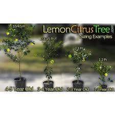 2 3 Year Old 2 3 Ft Meyer Lemon Tree