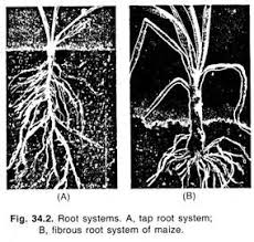 essay on root botany tap root system
