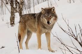 Wolf Species Size Chart Eurasian Wolf Wikipedia