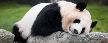 「和歌山アドベンチャーワールドパンダ」の画像検索結果