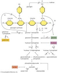 Enzyme Chart Glycogenolysis Biochemistry Britannica