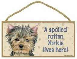 Lovely puppies from miriam yorkie puppy home has 10 weeks old puppies ready for new homes. Amazon Com Yorkshire Terrier Short Hair A Spoiled Your Favoriate Dog Breed Lives Here Door Sign 5 X 10 Home Kitchen