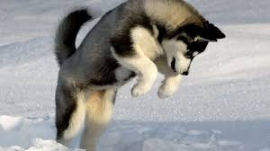 husky puppies wallpaper.  Puppies Siberian Husky Puppy Wallpaper 1920x1080 For Background Throughout Husky Puppies Wallpaper Y