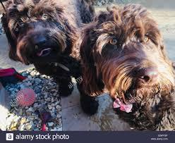 Labradoodle Designer Dogs Designer Dogs Stock Photos Designer Dogs Stock Images Alamy