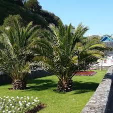 hardy phoenix palm trees phoenix canariensis 120 cm plant in a box 140cm exotic