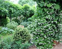 sweet smelling climbing star jasmine flowers for many weeks from garden gift ideas dads who like