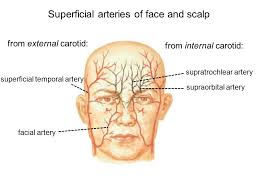 arteries of the face superficial face and scalp ppt video online download
