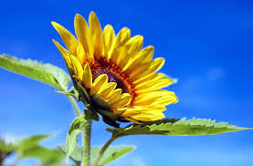 pictures of the flower. Simple The Sunflower Flower Bloom Yellow Summer Intended Pictures Of The Flower