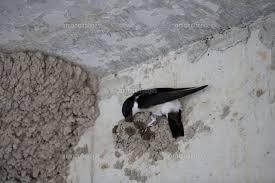 コンクリート壁に泥を塗り付けて巣を作るイワツバメ32218000914の写真