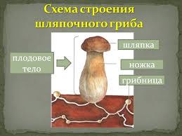 Видеоурок Съедобные и несъедобные грибы по предмету Окружающий  В
