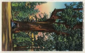 the chandelier tree underwood park redwood highway print