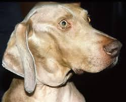 Lymphoma In Dogs Fact Sheet Davies Veterinary Specialists