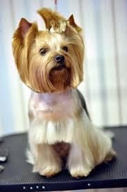 yorkshire terrier haircuts. Beautiful Yorkshire Yorkie Haircut In Yorkshire Terrier Haircuts