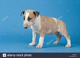 Light Box Terrier For Sale Bull Terrier Puppy 6 Weeks Red And White Stock Photo