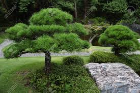 pine tree in japanese garden stock photo 83727526