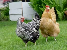 Reduce The Risk Of Bird Flu In Backyard Chickens  Green Blog Backyard Chicken Blog