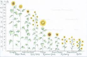 Sunflower Size Chart 31 Most Wonderful Sunflowers With Height Guide Tried And