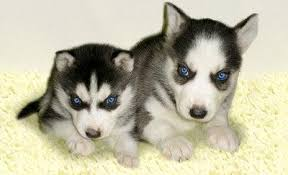 black husky puppies with blue eyes. Plain With Siberian Husky Puppies With Blue Eyes Inside Black E